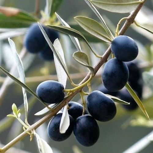Mission Olives
